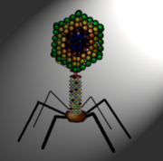 Bacteriophage diagram