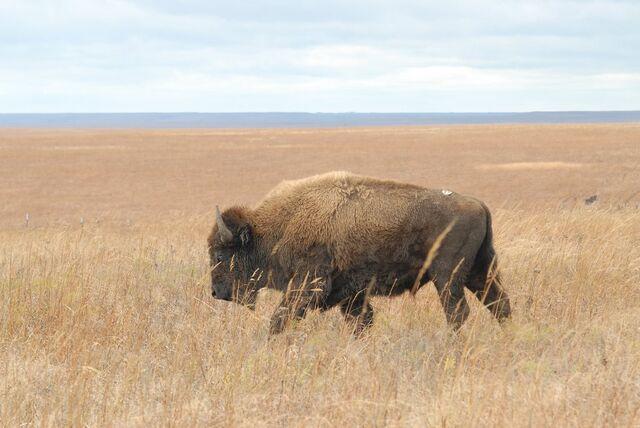 File:Bison TPNP.jpg