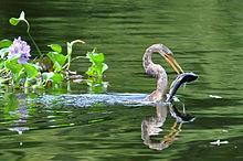 File:220px-Anhinga anhinga -Uarini, Amazonas, Brasil -juvenile-8.jpg
