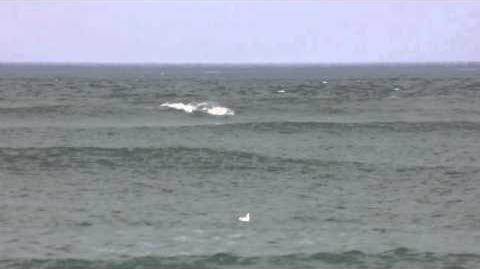 Surfs Up! Burrunan Dolphins - HD