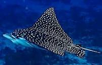 File:White Spotted Eagle Ray.png