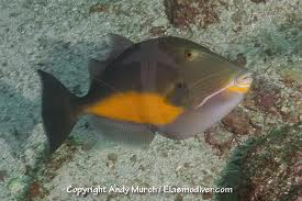 File:Orangeside Triggerfish.jpg