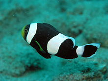 File:Saddleback Clownfish.jpg