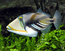 File:220px-Picasso.triggerfish.arp.jpg