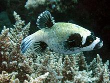 File:Masked Pufferfish.jpg