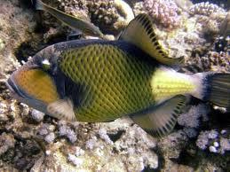File:Titan Triggerfish perfect shot.jpg