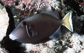 File:Whitetail Triggerfish.jpg