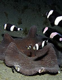 File:Saddleback Clownfish over an Anemone.jpg