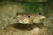 Striped burrfish