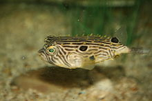 File:Striped burrfish.jpg