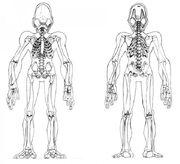 Mudokon Skeletal System