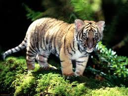 File:Tiger17.jpg