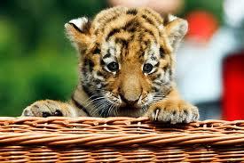 File:Tiger18.jpg