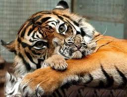 File:Peeking Tiger.jpg