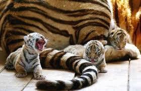File:Little Roaring Tiger.jpeg