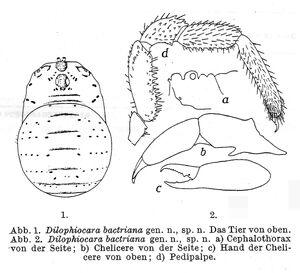 Dilophiocara bactriana