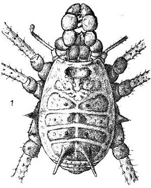 Agoristenus cubanus