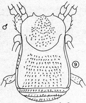 Guaiquinimia longipes1