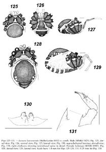 Jussara luteovariata 35