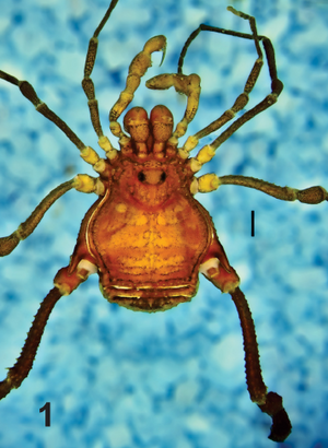 Hernandarioides plana Kury Quintero-2014-1