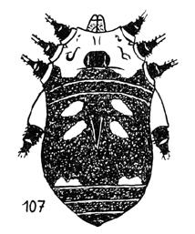 Eugagrella aemula