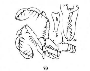 Albertops robustus Roewer-1938b