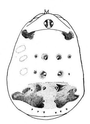 Schenkeliobunum tuberculatum (Schenkel, 1963)