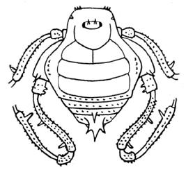Glysterus calcartibialis Roewer-1943