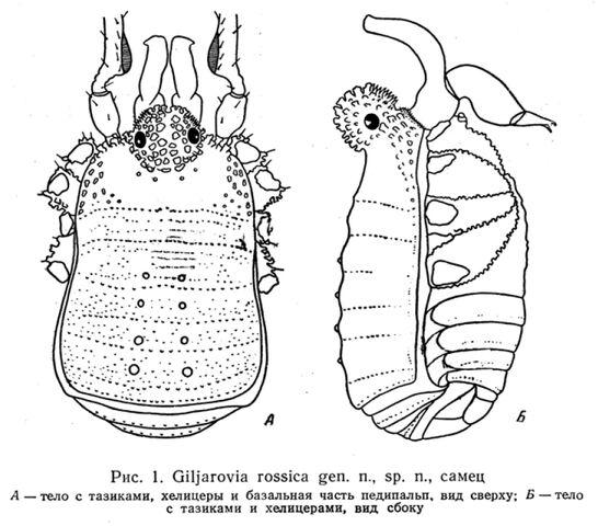 File:Giljarovia rossica Kratochvíl, 1959.jpg
