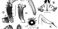 Acanthomegabunus