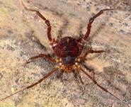 Heteropachylus ramphonotus