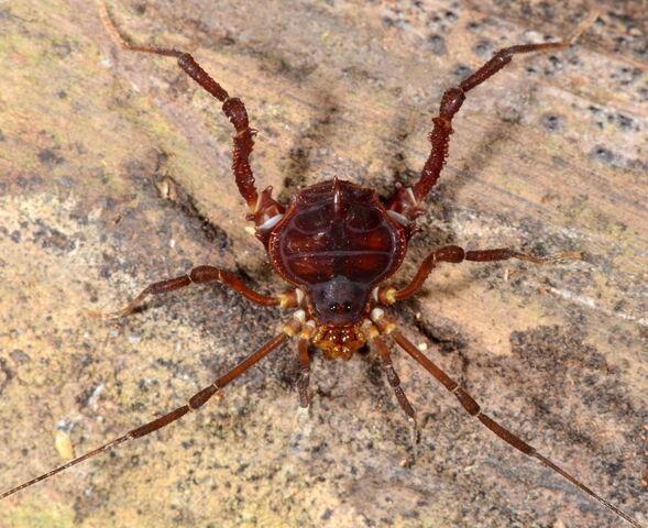 File:Heteropachylus ramphonotus.JPG