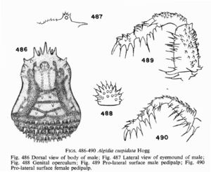 Algidia cuspidata cuspidata Hogg, 1920
