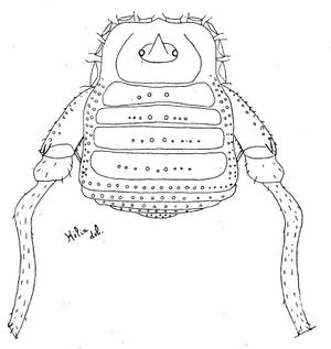 Pseudopachylus alticola HS-1945c