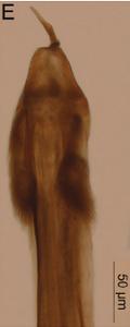 Forsteropsalis bona T+P-2014-E