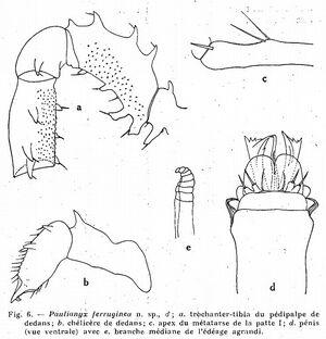 Paulianyx ferruginea