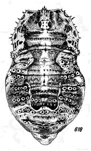 Lacinius dentiger (C.L. Koch, 1848) male Austria by Martens 1978