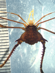 File:Multumbo dimorphicus (1).jpg