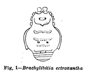 Brachylibitia ectroxantha Mello-Leitão, 1941
