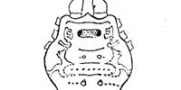 Megarhaucus