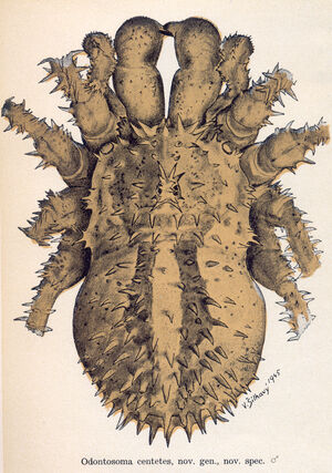 Odontosoma centetes Silhavy 1946