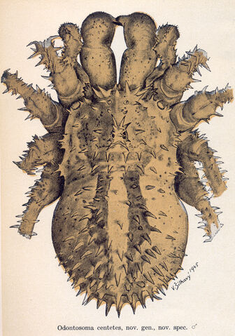 File:Odontosoma centetes Silhavy 1946.jpg