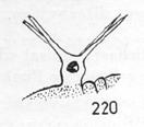 Cervibunus maculatus