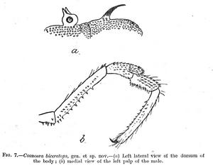 Coonoora biceratops