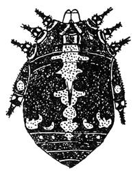 Gagrellula fasciata