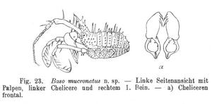 Basoides mucronatus Roewer-1927a