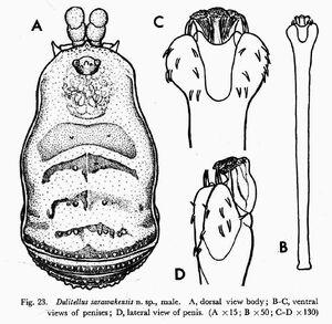Dulitellus sarawakensis Suzuki, 1969