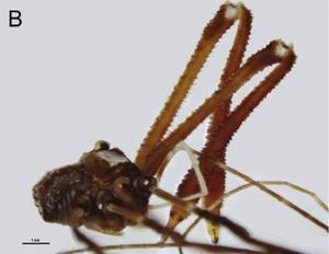 Fosteropsalis pureora Taylor-2013a-B