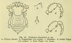 Miobunus thoracicus Roewer-1915b