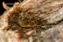 Ceratomontia argentina DSC 3226